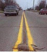 Road markings around roadkill .... avoiding the problem!